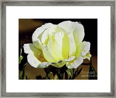 Yellow Rose Dew Drops Framed Print