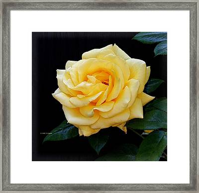Yellow Rose Framed Print by Edward Haskell