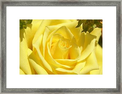 Yellow Rose Framed Print by Heidi Poulin