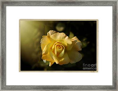 Yellow Rose In Bloom Framed Print by Stefano Senise