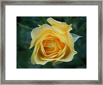 Yellow Rose Framed Print by John Parry