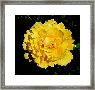 Yellow Rose Kissed By The Rain Framed Print