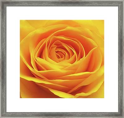 Yellow Rose Macro Framed Print