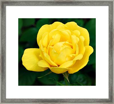 Framed Print featuring the photograph Yellow Rose by Marilynne Bull