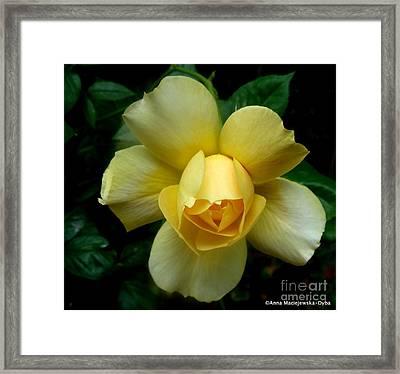 Yellow Rose Midas Gold 4 Framed Print by Anna Folkartanna Maciejewska-Dyba