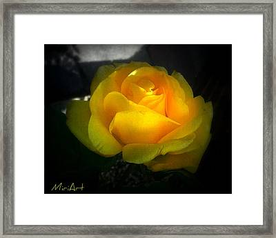 Yellow Rose Framed Print by Miriam Shaw