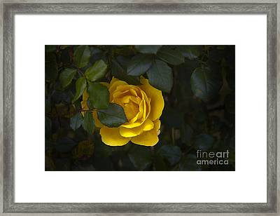 Yellow Rose Of Madre Tierra Framed Print