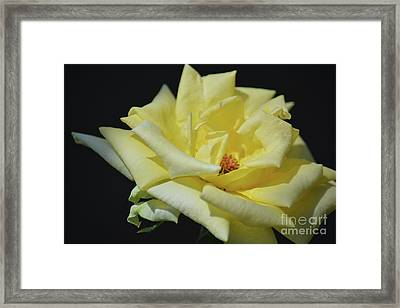 Yellow Rose Of Texas 2 Framed Print by Ruth Housley