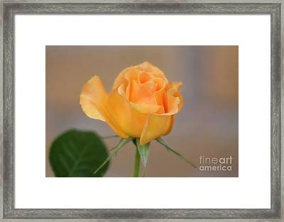 Yellow Rose Of Texas Framed Print by Joan Bertucci