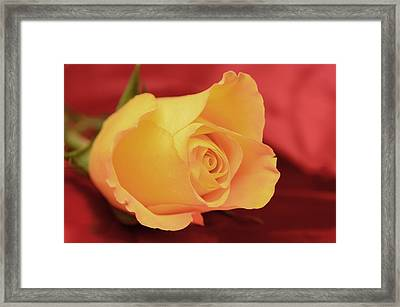 Yellow Rose On Red Framed Print