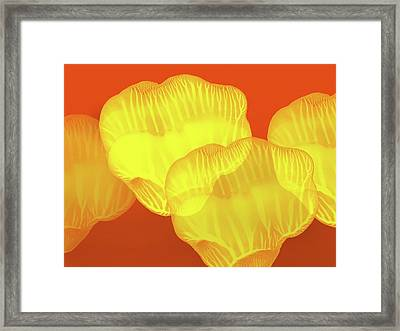 Yellow Rose Petals Falling In The Garden At Sunset  Framed Print by Amy Vangsgard
