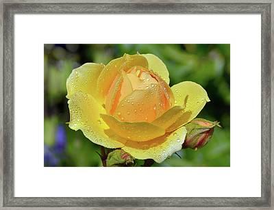 Yellow Rose Portrait Framed Print