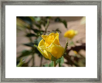 Yellow Rose With Ants Framed Print