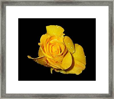 Yellow Rose With Dew Drops Framed Print