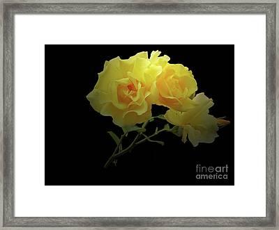 Yellow Roses On Black Framed Print
