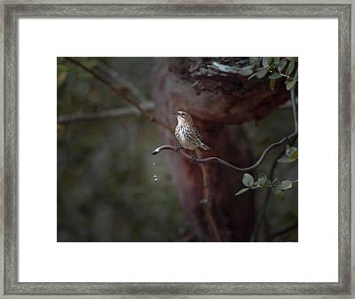 Yellow-rumped Warbler At Water Spout Framed Print by Debra Martz