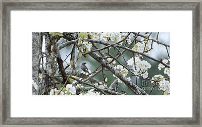 Yellow-rumped Warbler In Pear Tree Framed Print by Donna Brown