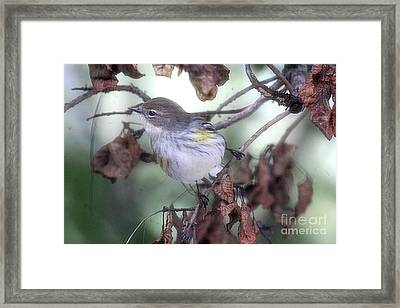 Yellow Rumped Warbler Perched On A Branch Framed Print