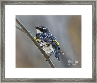 Yellow-rumped Warbler Portrait Framed Print