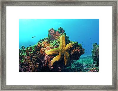 Yellow Sea Star On A Rock Underwater View Framed Print by Sami Sarkis