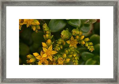 Yellow Sedum Framed Print