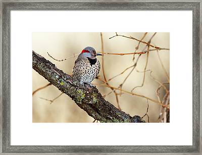 Yellow-shafted Northern Flicker Framed Print by Betty LaRue
