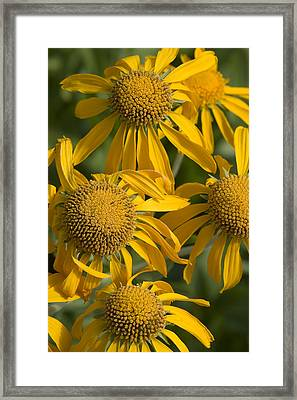 Yellow Sneezeweed, Helenium Autumnale Framed Print by Shelley Dennis