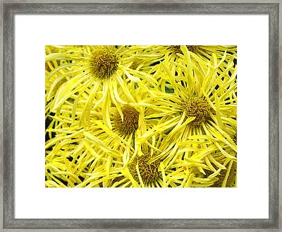 Yellow Spider Mums Framed Print by Richard Singleton