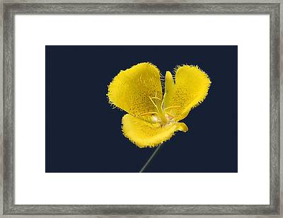 Yellow Star Tulip - Calochortus Monophyllus Framed Print by Christine Till