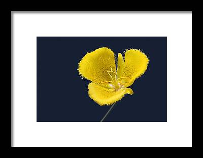 Yellow Tulip Framed Prints