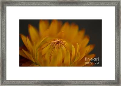 Yellow Strawflower Blossom Close-up Framed Print