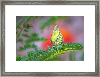 Yellow Sulfur Framed Print