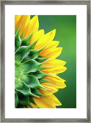 Yellow Sunflower Framed Print by Christina Rollo