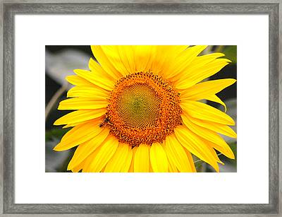 Yellow Sunflower With Bee Framed Print by Amy Fose