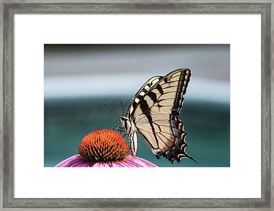 Yellow Swallowtail II Framed Print