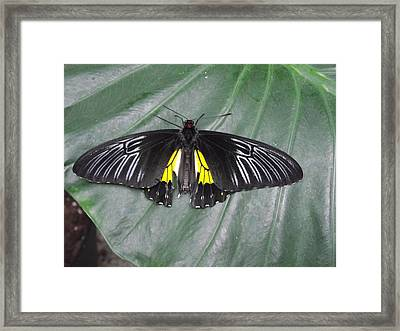 Golden Birdwing Framed Print by David and Lynn Keller