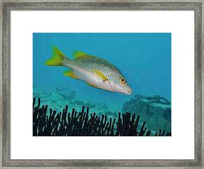 Yellow Tail Snapper Framed Print by Jean Noren