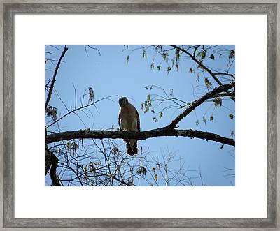 Yellow Tailed Hawk Framed Print by Mary Hurst