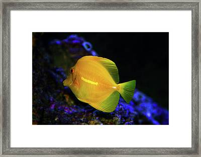 Framed Print featuring the photograph Yellow Tang by Anthony Jones