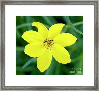 Yellow Threadleaf Framed Print