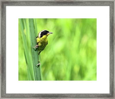 Yellow Throat Framed Print