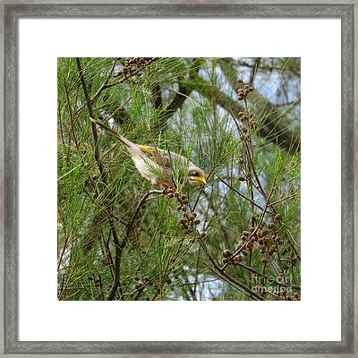 Yellow Throated Miner 2 Framed Print by Evie Hanlon