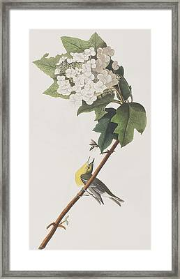 Yellow-throated Vireo Framed Print by John James Audubon