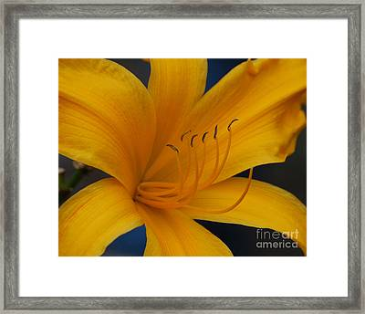 Yellow Tiger Lilly Framed Print