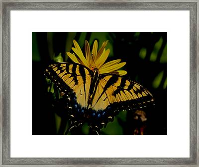 Yellow Tiger Swallowtail Butterflly Framed Print by Martin Morehead