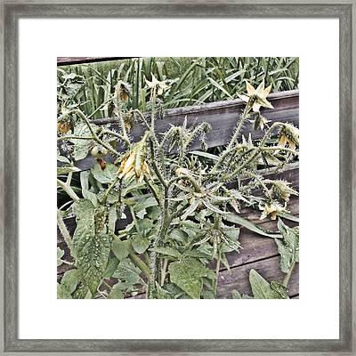 Yellow Tomato Flowers Framed Print