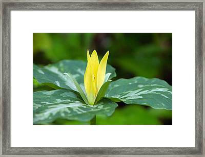 Yellow Trillium Flower Trillium Luteum Framed Print by Panoramic Images