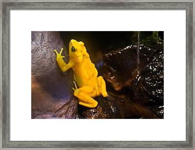 Yellow Tropical Frog Framed Print by Douglas Barnett