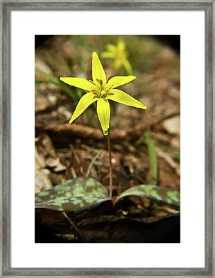 Yellow Trout Lily 1 Framed Print by Douglas Barnett
