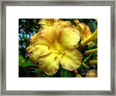 Yellow Trumpet Framed Print by Alina Davis